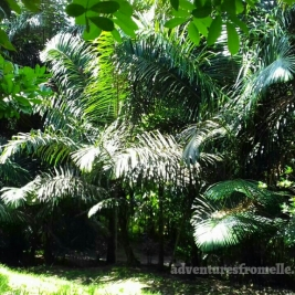 Several species of palm still remain from the palmetto's glory days