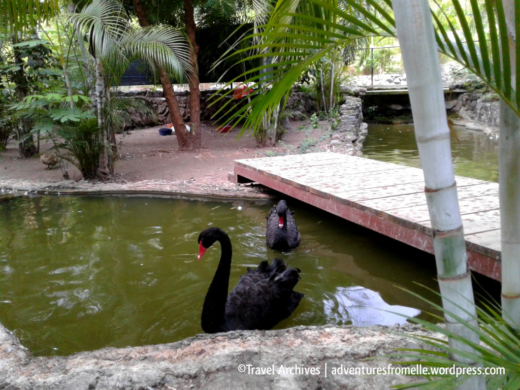 black swans-hope zoo kingston