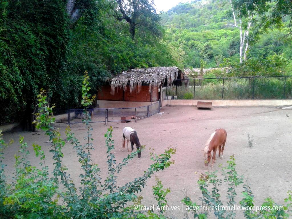 miniature horses-hope zoo kingston
