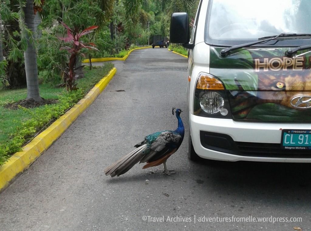 peacock-hope zoo kingston