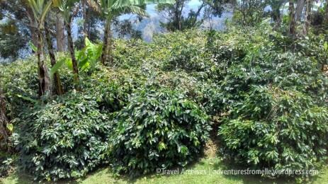 coffee plants-lime tree farm