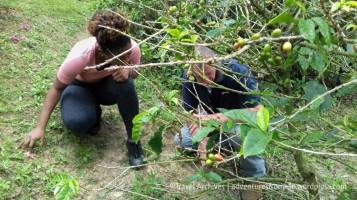 coffee tour lime tree farm