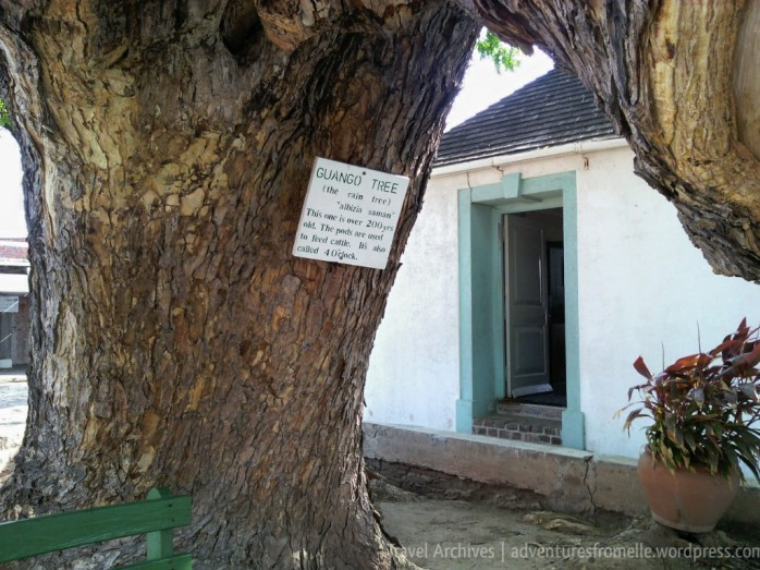 Massive guango tree which has been around for over 200 years