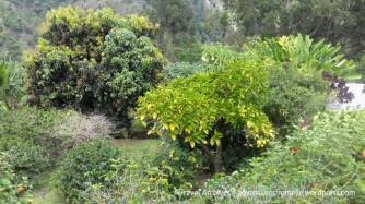 trees-lime tree farm