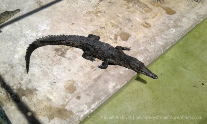 smaller-croc