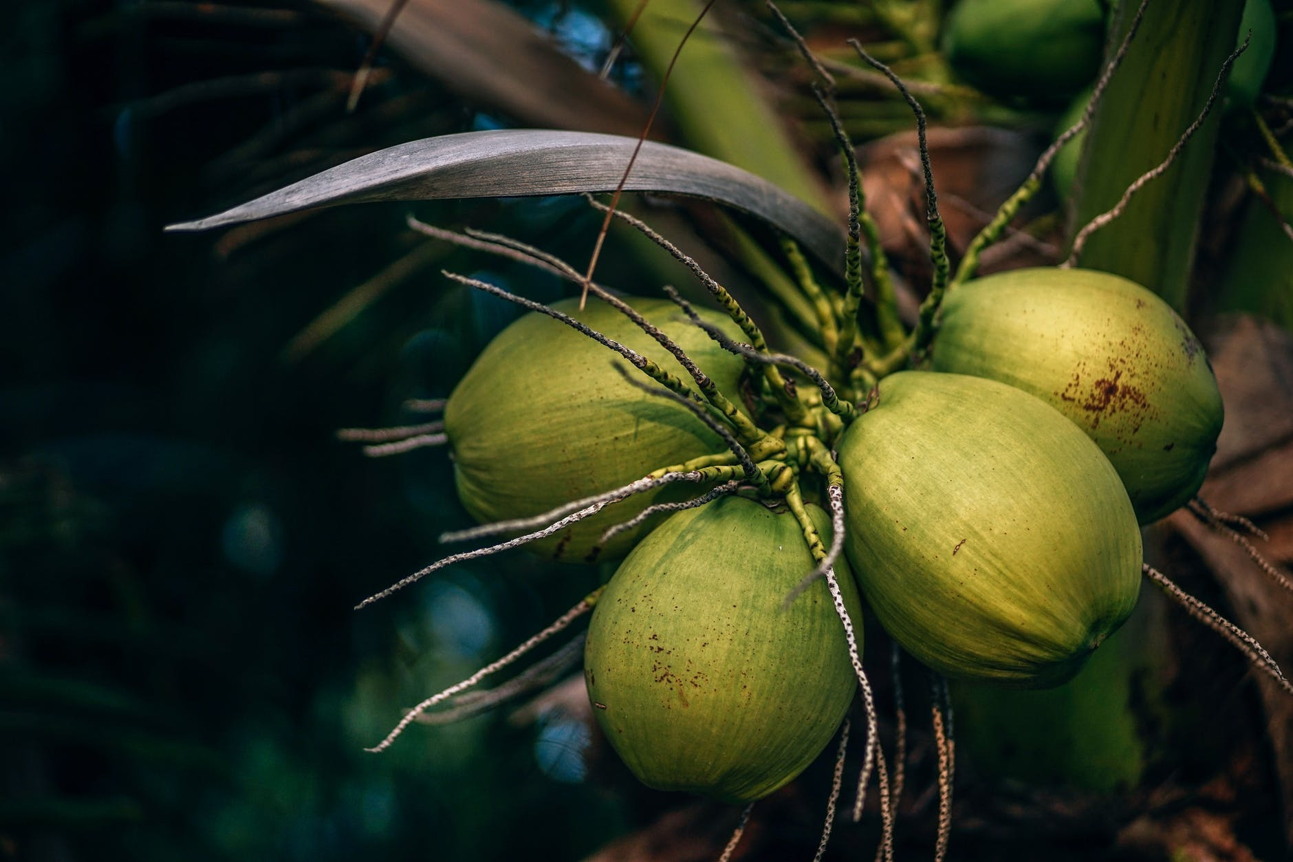 selective focus photo of coconuts